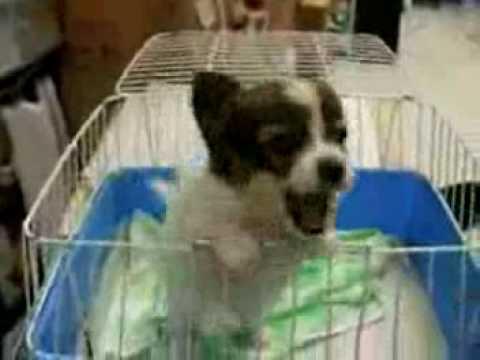 Puppy Screams 'Elmo'