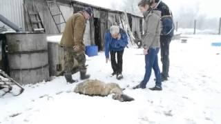 Psy zagryzły stado kóz w Lesznie?