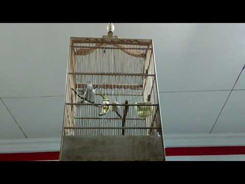 Burung Trucukan Ngebren