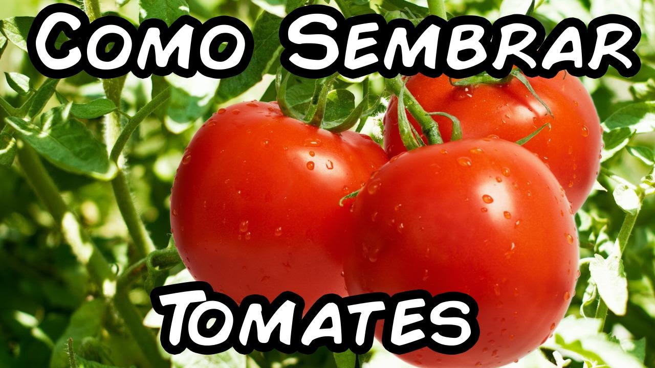 Como sembrar tomates con exito del semillero al - Como plantar marihuana en casa paso a paso ...