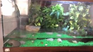 Fire belly/fish tank set up
