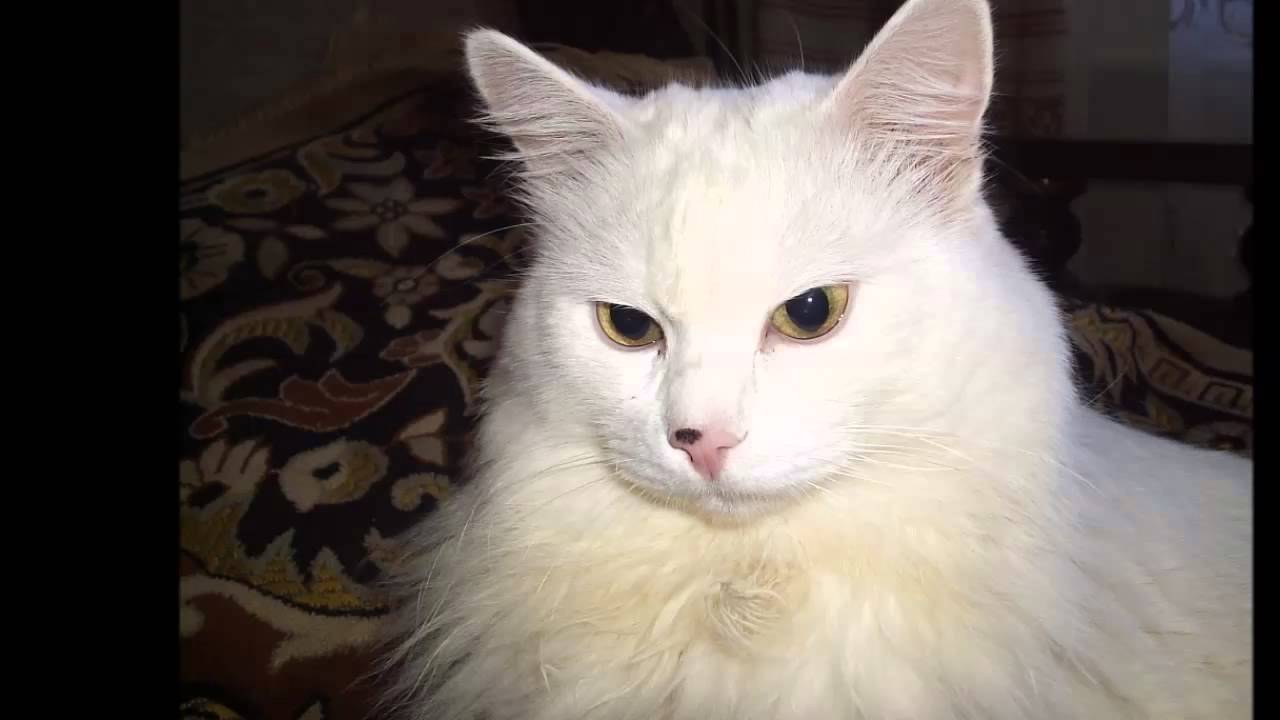 Photos Of My Cat Breed Turkish Angora Youtube