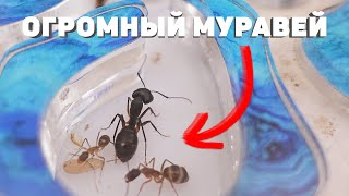 В моем муравейнике появился ГИГАНТ! КАК ???