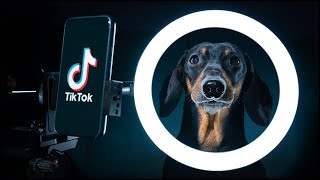 Sorry dad, I'm going to Tik Tok! Cute & funny dachshund dog video!