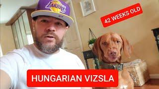 HUNGARIAN VIZSLA AT 42 WEEKS OLD