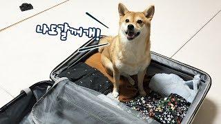 여행가는 주인 따라가고 싶은 강아지 / 가방에서 안나옴.. / 시바견 곰이탱이 Shibainu