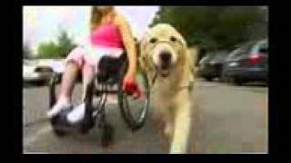 Золотистый ретривер (голден ретривер), все породы собак, 101 dogs. Введение в собаковедение.