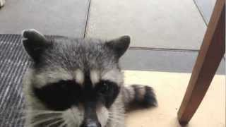 raccoon tricks betty