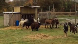 Retour des moutons et des chèvres de chez DB Schenker au Ranch de l'Espérance.