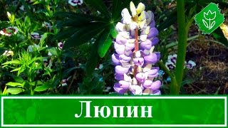 видео Люпины: выращивание из семян, когда сажать, как садить семенами