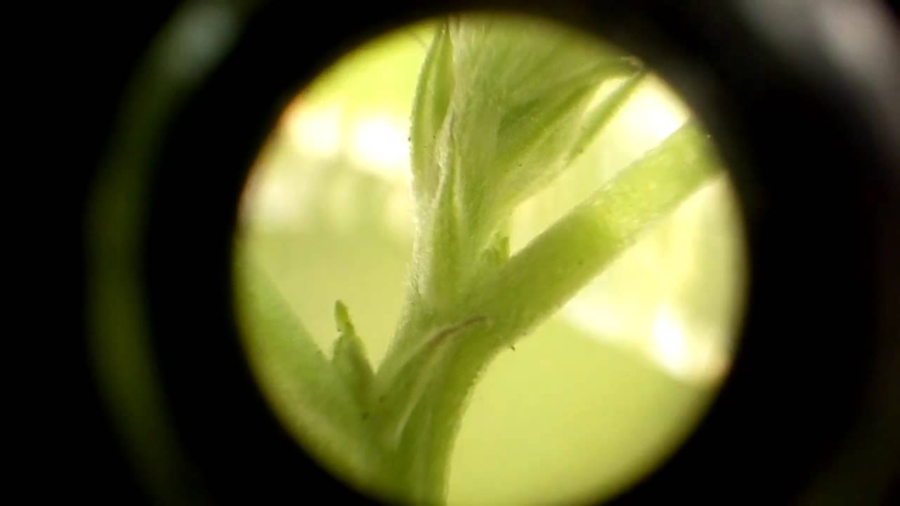 first signs of flowering cannabis youtube