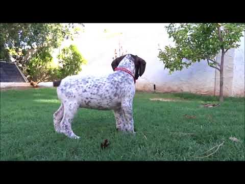 German Shorthaired Pointer for sale.Female,Champion Bloodline