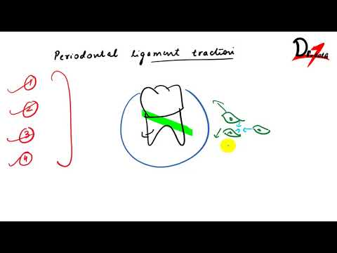 Periodontal ligament traction theory