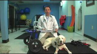 Veterinarian Demonstrates How To Put A Walkin' Wheels Dog Wheelchair On A Dog