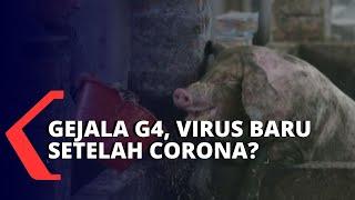 Ratusan Babi di Sumut Mati Terserang Kolera.