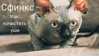 Чистим уши коту сфинксу