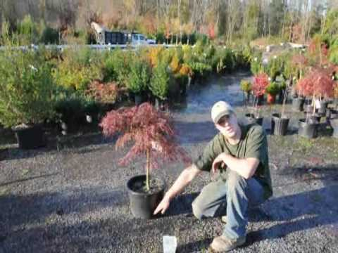 Japanese Red Maple Care Secret Of Youtube