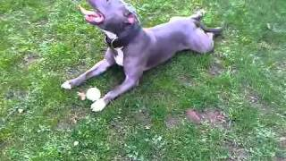 Blue Staffordshire Bull Terriers: Raging Storm Kennels : My Beautiful Boy Kane!