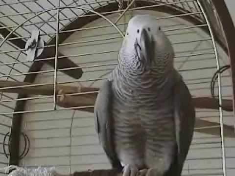 55 The African Grey Ruby The Swearing Parrot X Rated