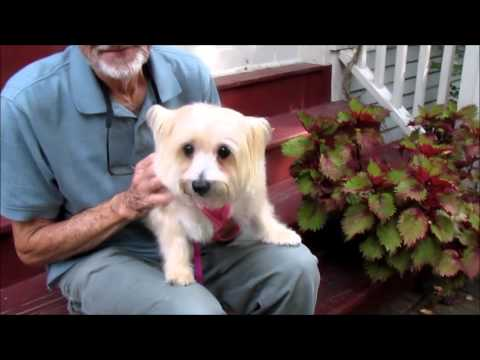 """Cairn Terrier """"Sophie"""" for adoption with Cairn Rescue USA"""
