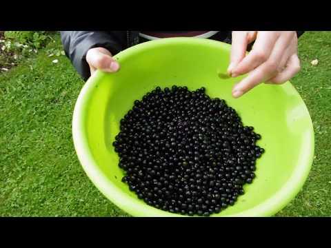 собираем чёрный паслён вкус детства
