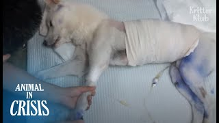 Paralyzed Dog Hit By Running Cars And Left Half Dead Wanted To Live (Part 1) | Animal in Crisis