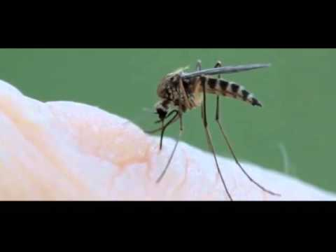Mosquito Finds Blood Vessel