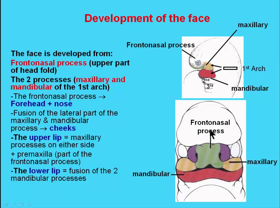 15 Development Of The Face  Youtube