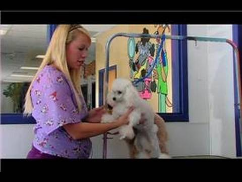 Dog Grooming How To Groom A Toy Poodle Youtube