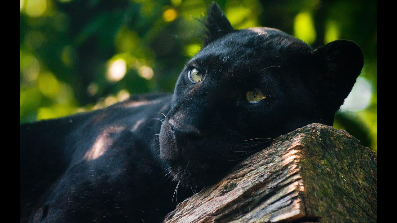 Panther Spirit Animal Meaning Youtube