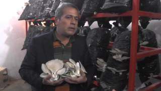 Osmaniye'de emekli işçi, evinin bodrum katında mantar yetiştiriyor