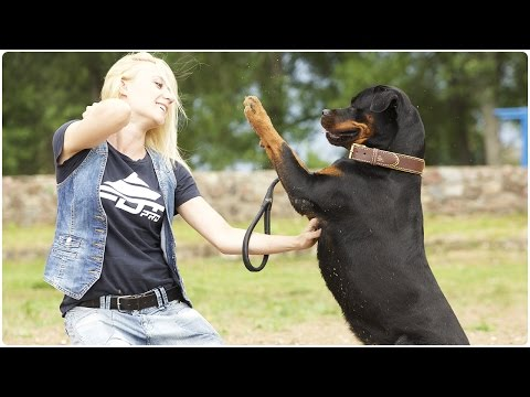 Super Cute Rottweiler shows obedience skills. Rotty walks in Nappa Padded Leather Dog Collar