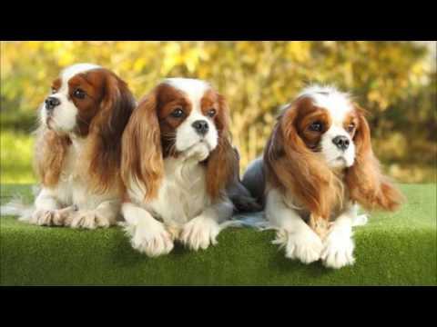 animals Cavalier King Charles Spaniel Dog
