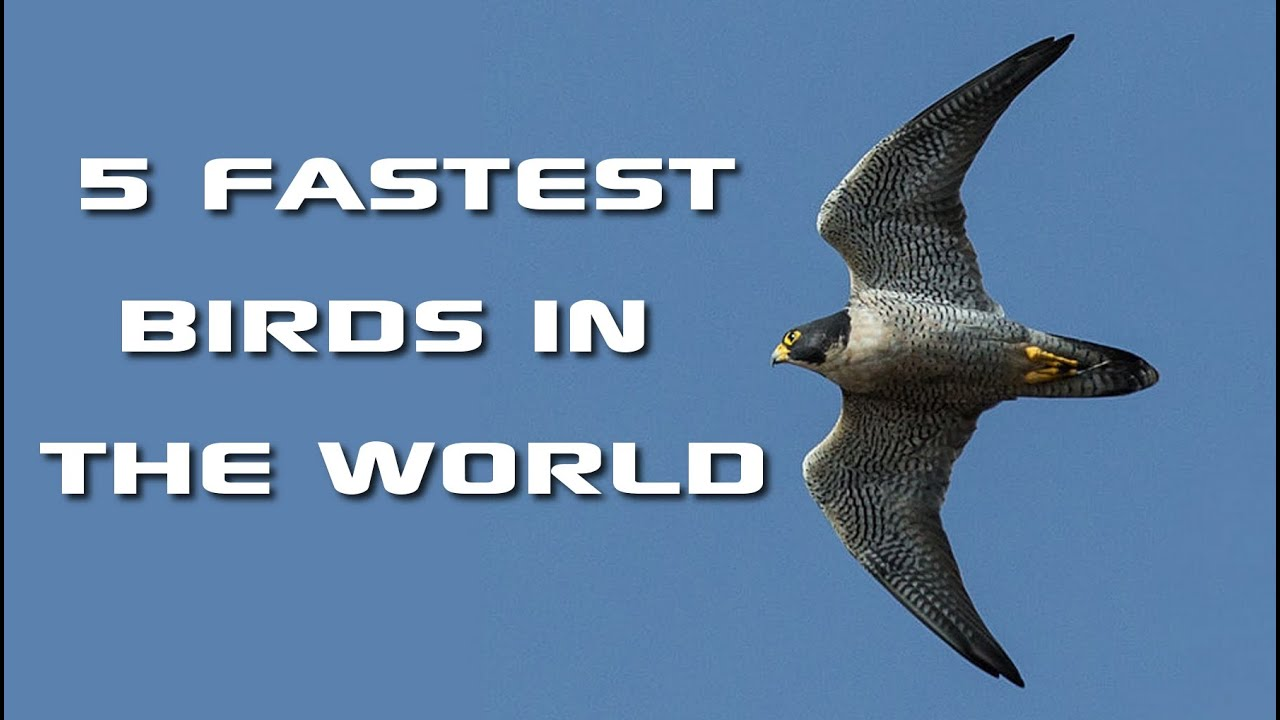 Top 5 Fastest Birds In The World Fastest Animals On Earth Freeschool Creature Countdown Youtube