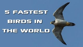Top 5 Fastest Birds in the World: Fastest Animals on Earth - FreeSchool Creature Countdown