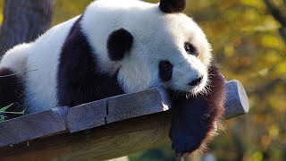 Панду Бей-Бей провожают в Китай