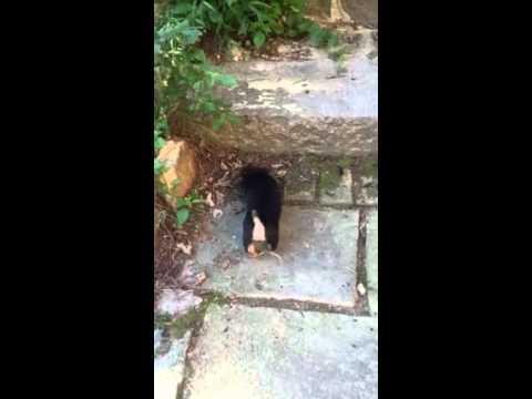 Black & Tan Hunt Terrier Pups!