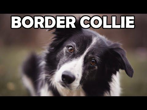 Border Collie - Historia, charakter, aktywność - Rasy Psów #3