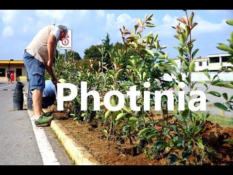 Distacco margotta Photinia (pianta da siepe) Doovi