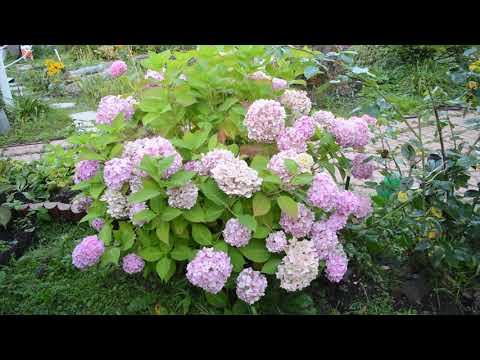 Гортензия в саду для души: самые эффектные сорта