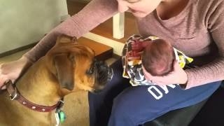 Boxer Meets New Born Baby