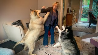 Giant Dogs Love Grandma!