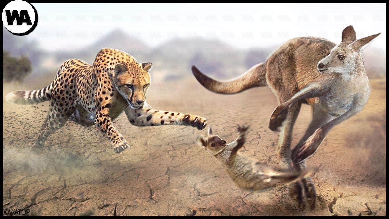 Download The Reason Why Kangaroo Abandons Its Baby to Predators