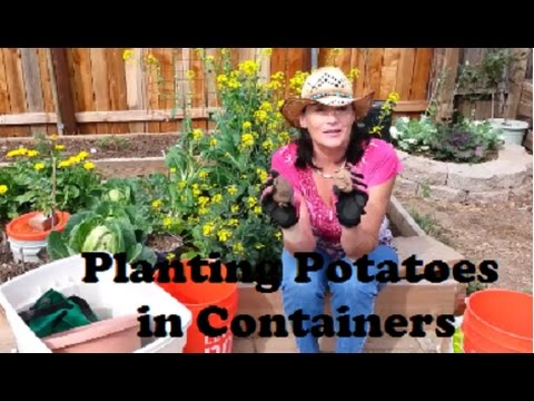 Planting Potatoes in Containers