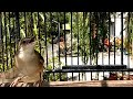 Suara Ciblek Gunung Ngebren Gacor Untuk Pikat Pancingan Cigun Bahan Supaya Cepat Belajar Bunyi Lot  Mp3 - Mp4 Download