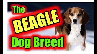 Beagle Dog Breed 2020  Detox Your Dog