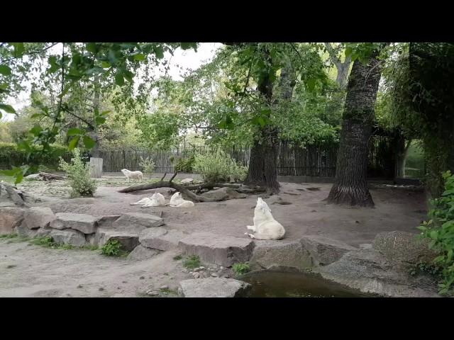 Wolfsgeheule im Zoo Berlin - Polarwölfe