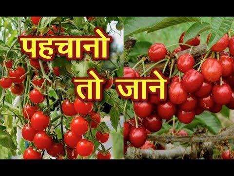 Cherry Tomato | किसान कर के इसकी खेती पा सकते है अच्छा मुनाफा