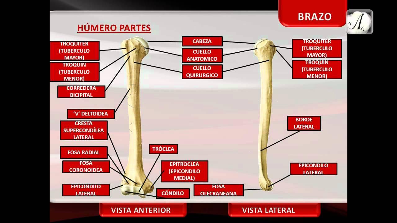 Extremidad Superior - Huesos del Brazo - YouTube