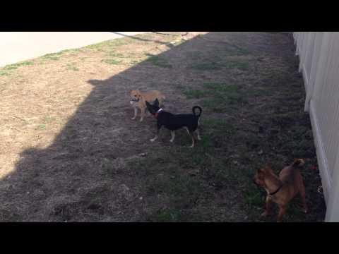 Chihuahua play groups